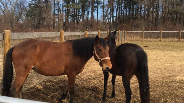 Ten horses are up for adoption this holiday season. (WFSB)