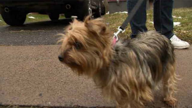 This little Yorkie was reunited with her family. (WFSB)
