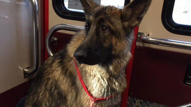 The German Shepard rescued by firefighters in Voluntown.  (Voluntown Fire Department Facebook page)