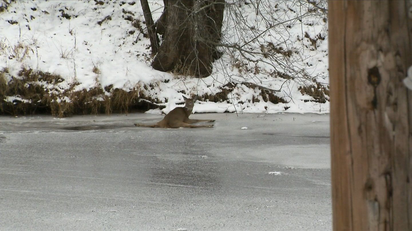 A deer was stuck on the ice in Simsbury on Monday. (WFSB)