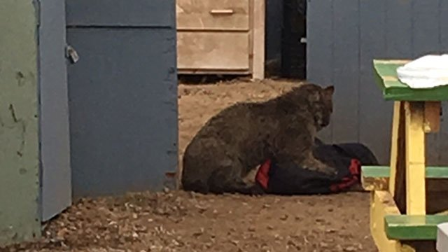 This bobcat attacked three people in Colchester. (iWitness Photo)