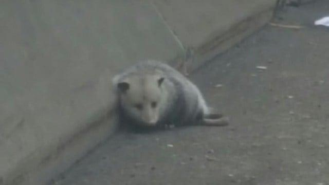 A possum sat afraid along I-95 in Bridgeport on Thursday morning. (State police photo)