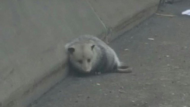 A possum sat afraid along I-95 in Bridgeport on Thursday morning. (State police photo)