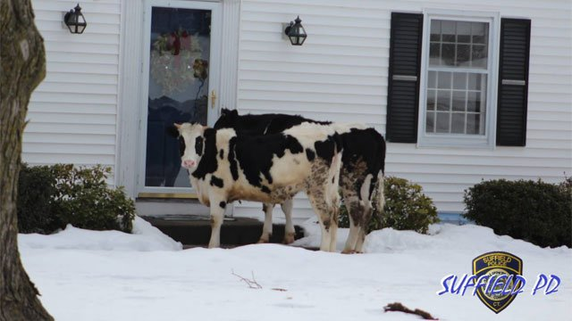 Post about cows visiting Suffield home gets national attention. (Suffield CT Police Department Facebook)