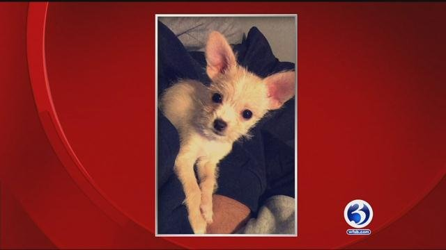 Zoey, the 15-week-old Chihuahua mix, broke her right femur about one week ago.(submitted)