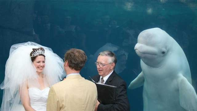 Beluga whale photobombs Connecticut wedding and has become an Internet sensation. (FishMcBite)