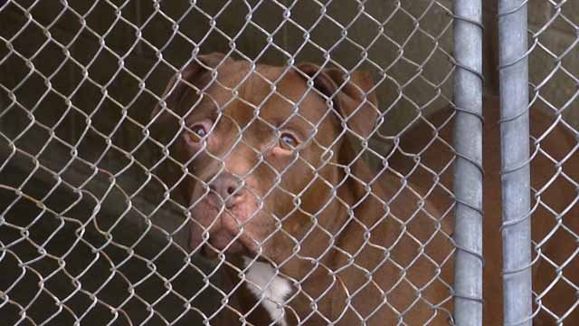 Menace the pit bull was left abandoned in East Haven. (WFSB file)
