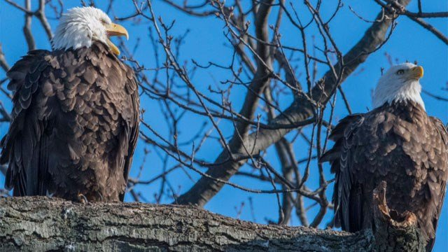 Here's a shot of the eagles which are now nesting inside Evergreen Cemetery.  Photos courtesy of Martin Torresquintero, NH Parks & Rec.
