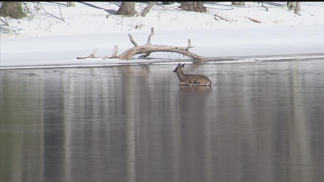 A deer was able to get itself off a frozen body of water in Middlefield on Friday morning. (WFSB)