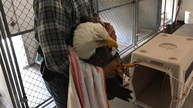 A bald eagle that was likely hurt by another eagle could be released next week. (Suffield police photo)
