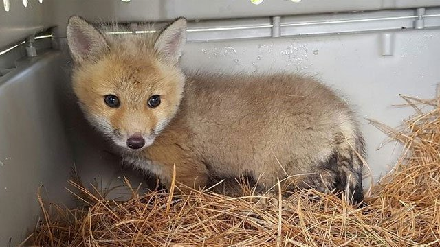 A baby fox to be reunited with its mother shortly (West Hartford Police Department)