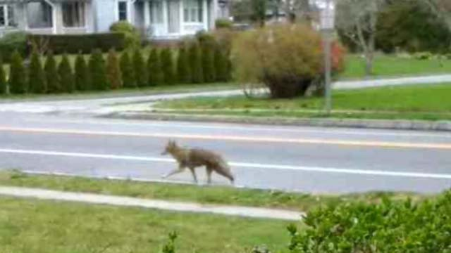 Police are warning residents about coyotes in the area (iwitness)