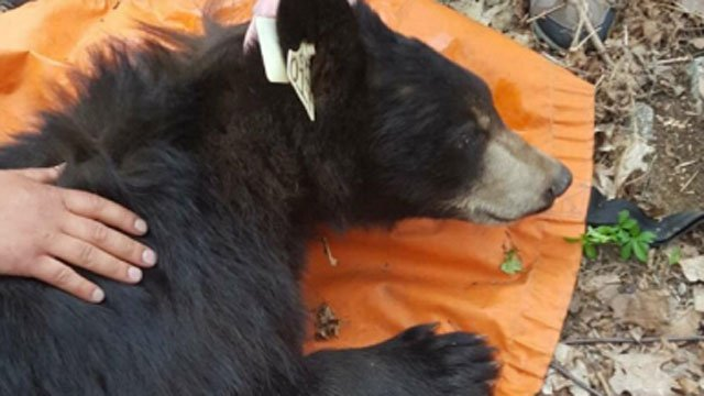 This bear was darted in a Wolcott neighborhood on Wednesday morning. (Wolcott Animal Control)