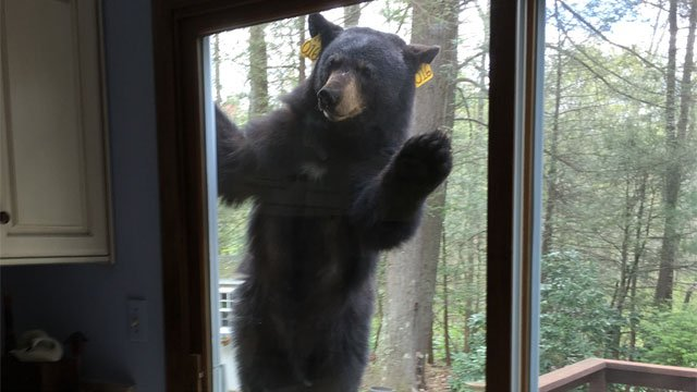 Avon neighbors said this bear tried to get into their homes.