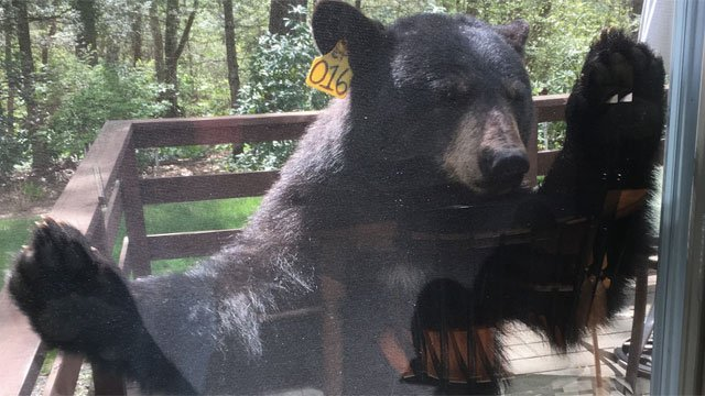 This bear was spotted by multiple residents on Stagecoach Road.