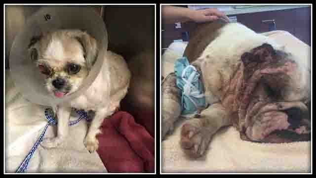 These two dogs were found in Hartford after having been abused (Kenway's Cause)