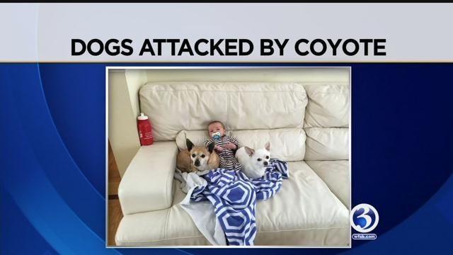 Dog killed, another missing in Wallingford coyote attack