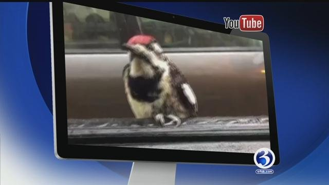 Woodpecker hitches a ride, rescue kitty has her own bed, rooster belly rub, puppies go round