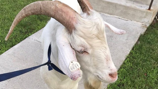 Hartford police said this goat was found wandering in the Blue Hills neighborhood on Monday. (Hartford police)