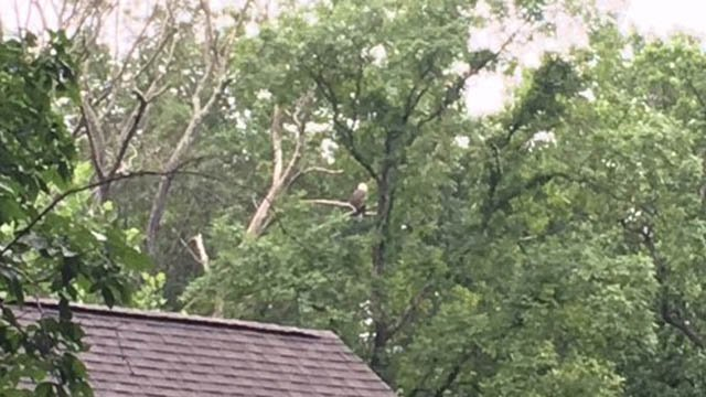 A bald eagle sits in a tree in Columbia on Tuesday morning. (WFSB)