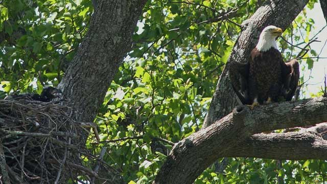 Authorities in Columbia asked residents to forego shooting off fireworks for the sake of a family of bald eagles. |  Ken Koper