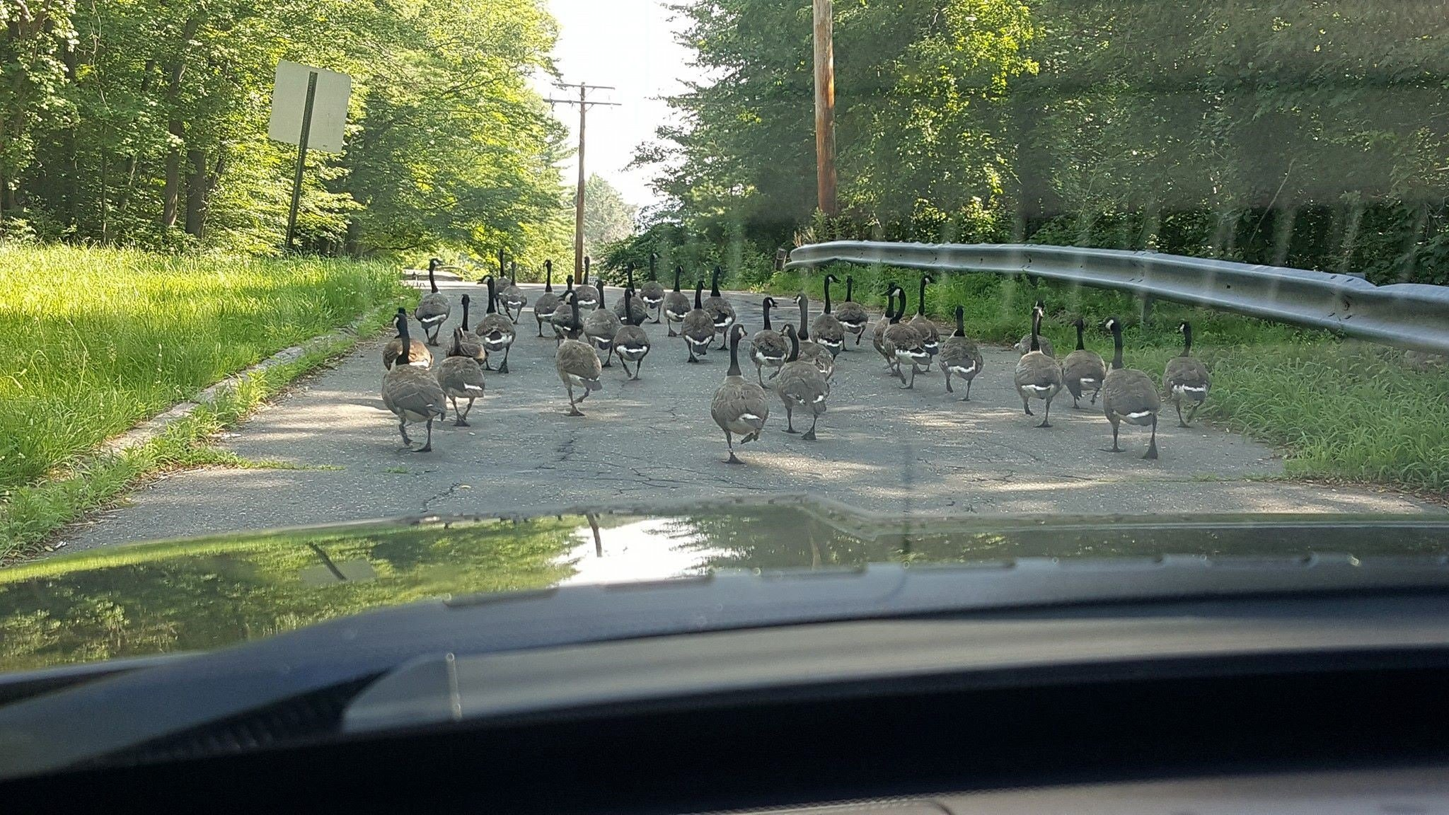 A flock of geese received a police escort in Woodbridge on Thursday. (Woodbridge police)