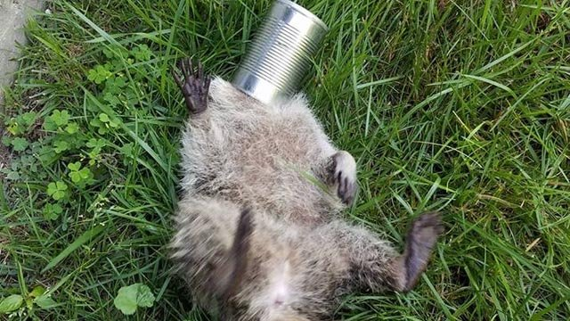 This raccoon was rescued by New London's animal control department on Monday. (New London animal control Facebook)