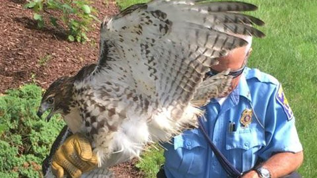 A red-tailed hawk was found with a serious wing injury in Hamden. (Hamden police)