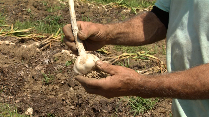 "Even farmers at ""The Garlic Farm"" are impressed with the size of this year's crop of garlic. (WFSB)"