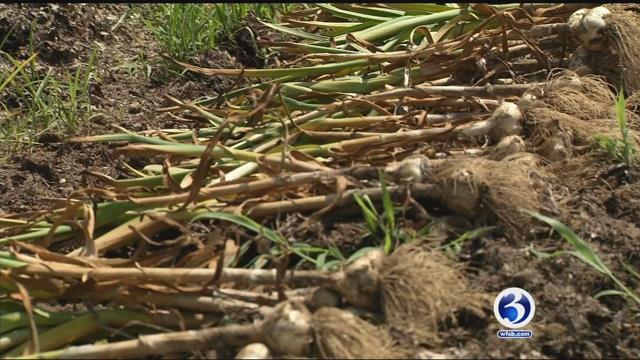 Good growing season makes for large garlic bulbs