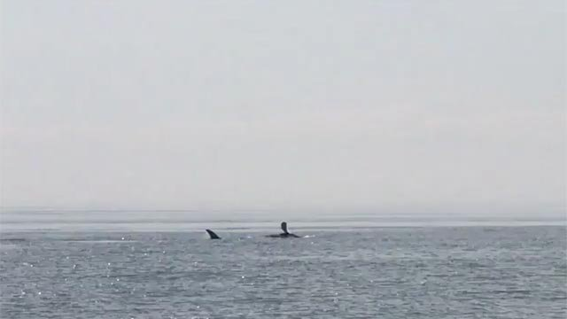 A whale was spotted near Westport and Norwalk on Friday (Norwalk PD)