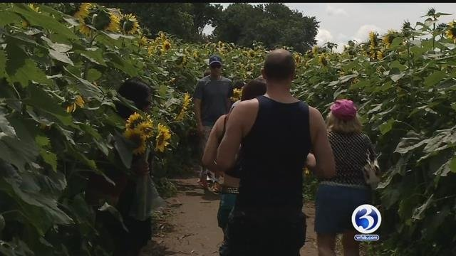 The sunflower maze raises money for the Make-A-Wish Foundation (WFSB)