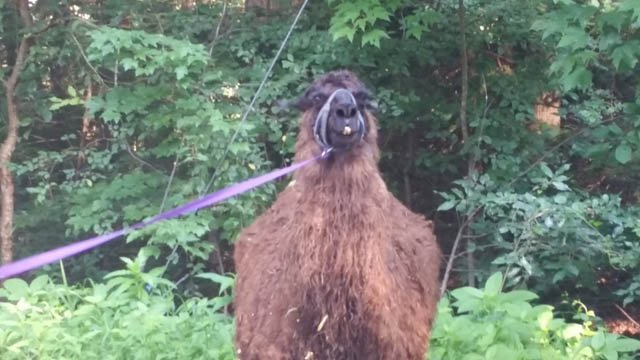 A llama is on the loose in Granby, according to police. (@GranbyCTPolice)
