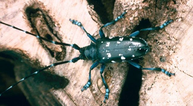 DEEP officials are warning about the Asian long-horned beetles. (DEEP)