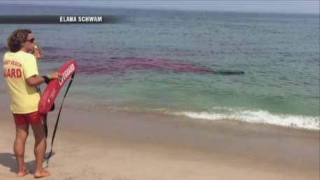 A shark attack happened just feet from swimmers at a Cape Cod beach on Monday (Elana Schwam)
