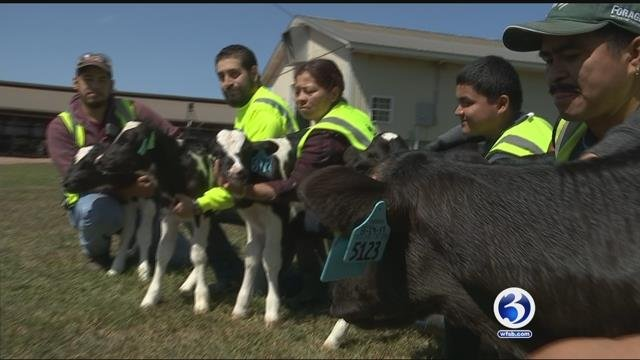 Two sets of healthy heifers born in one month at Oak Ridge Farm in Ellington. The chances of one set are about 1 in 700,000. (WFSB)