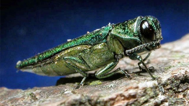 Emerald Ash Borer has been pushed to brink of extinction, according to experts. Pic courtesy of Forestry Images from DEEP website