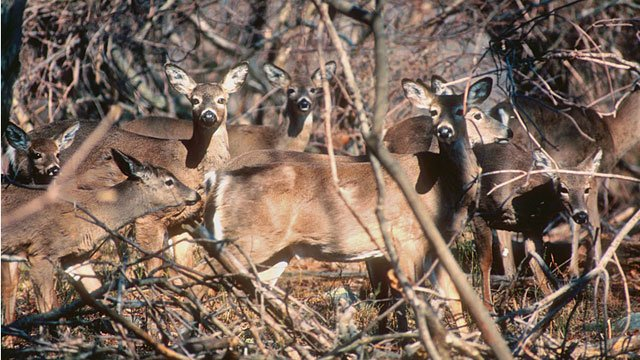 Drivers are being warned about white-tailed deer herds.  (Photo Credit: Paul J. Fusco / CT DEEP-Wildlife)