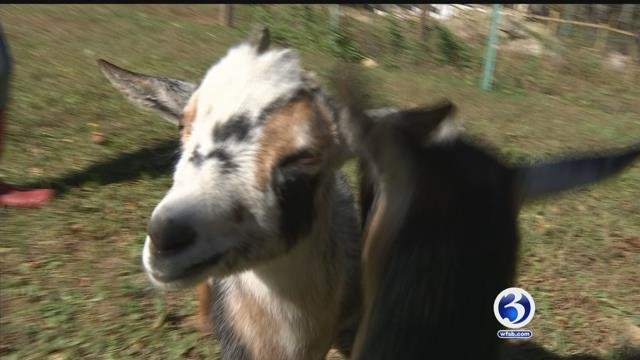 Theodore the goat has become a social media sensation. (WFSB)