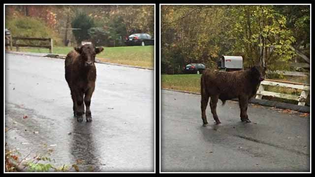 This Thomaston cow is on the loose, possibly headed to Wolcott (Wolcott Dog Pound)