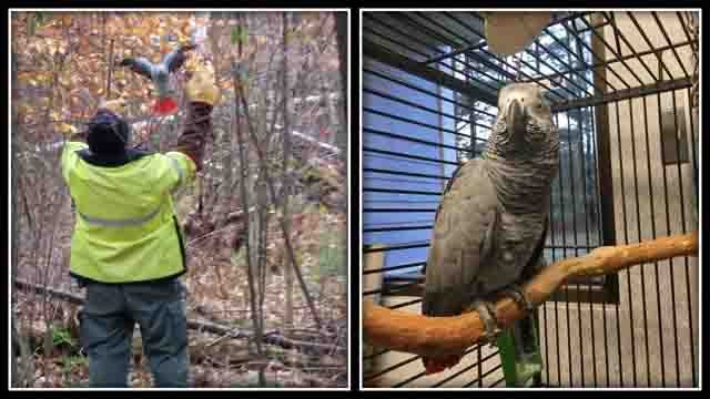 This parrot was found at a state park in Simsbury (Simsbury Police)