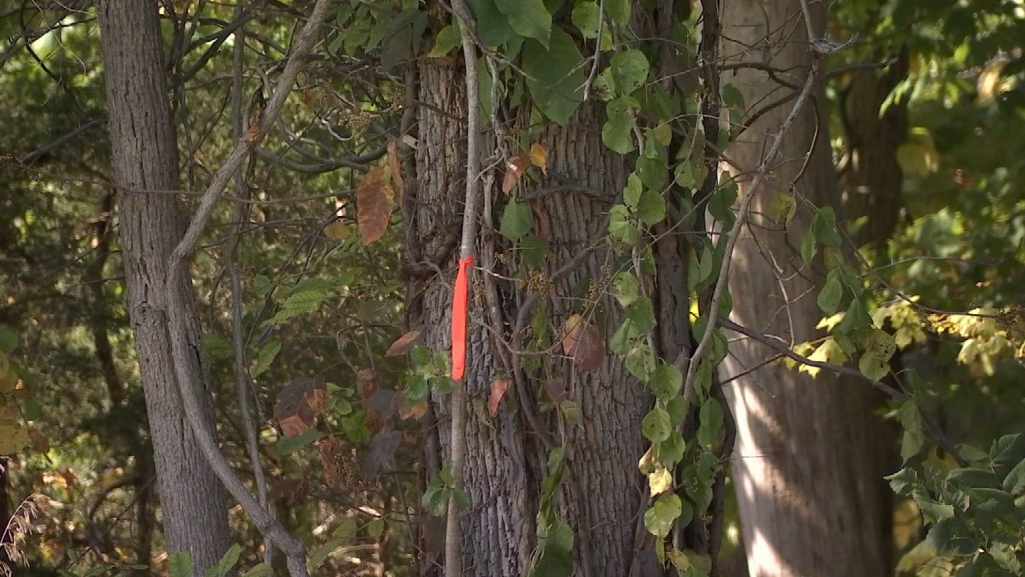 Trees are marked for removal by orange bands from the Dept. of Transportation. (WFSB)
