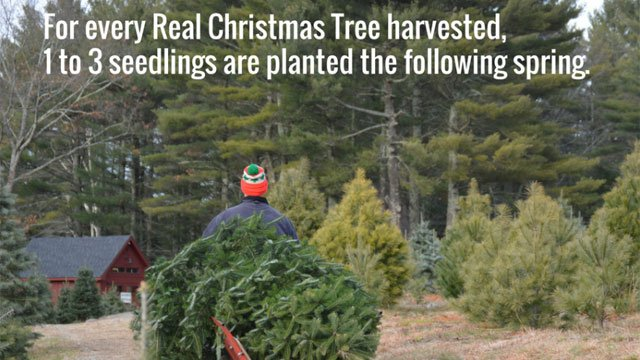 Connecticut Christmas tree farms open this week (CT Department of Agriculture)