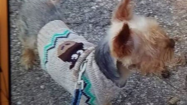 """""""Mookie"""" is a therapy dog who went missing in Norwich this morning.  (Norwich Police Dept. Facebook)"""