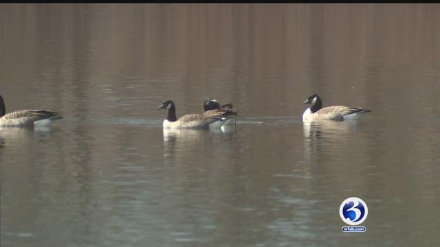 Video: Condo association wants to euthanize flock of 'nuisance geese'