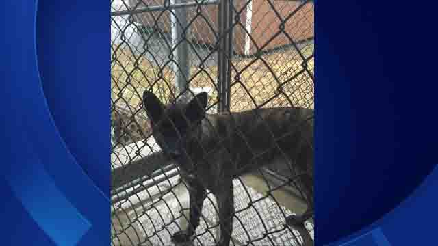 The dog was being quarantined after four dog bites (Plainfield Police)