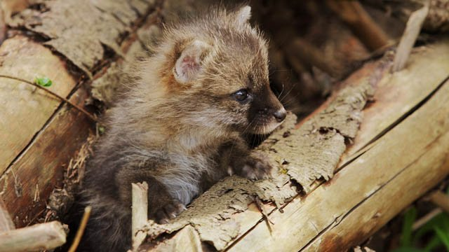 Young gray foxes may appear to be alone, but DEEP said they may not necessarily be orphaned. (Paul J. Fusco, CT DEEP Wildlife Division)