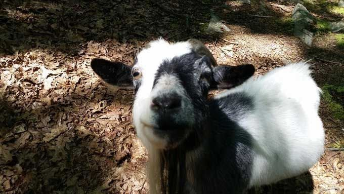 This 13-year-old pygmy goat, Dixie, was dragged into the woods and killed by a bear. (Submitted)