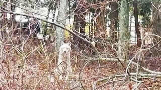 Coyote spotted in Columbia (Columbia Resident State Trooper's Office)