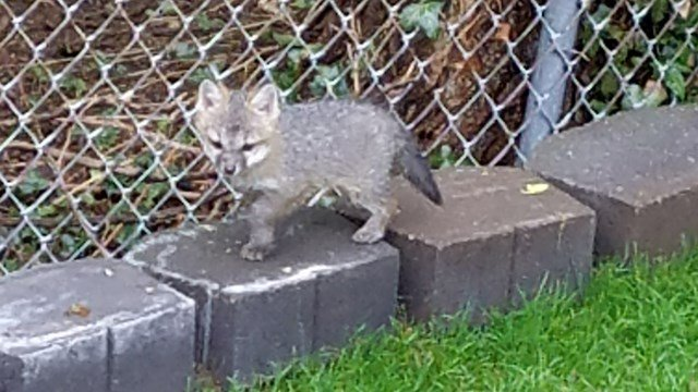 A reward is being offered for information on a fox that was killed in Guilford (Diane Honer)